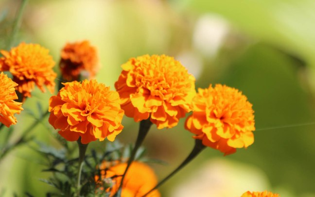 Marigold Flowers Wallpapers 03